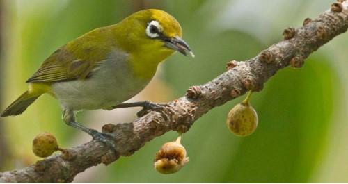 Tìm hiểu về loài chim vành khuyên